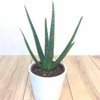 Entretien de l'Aloes