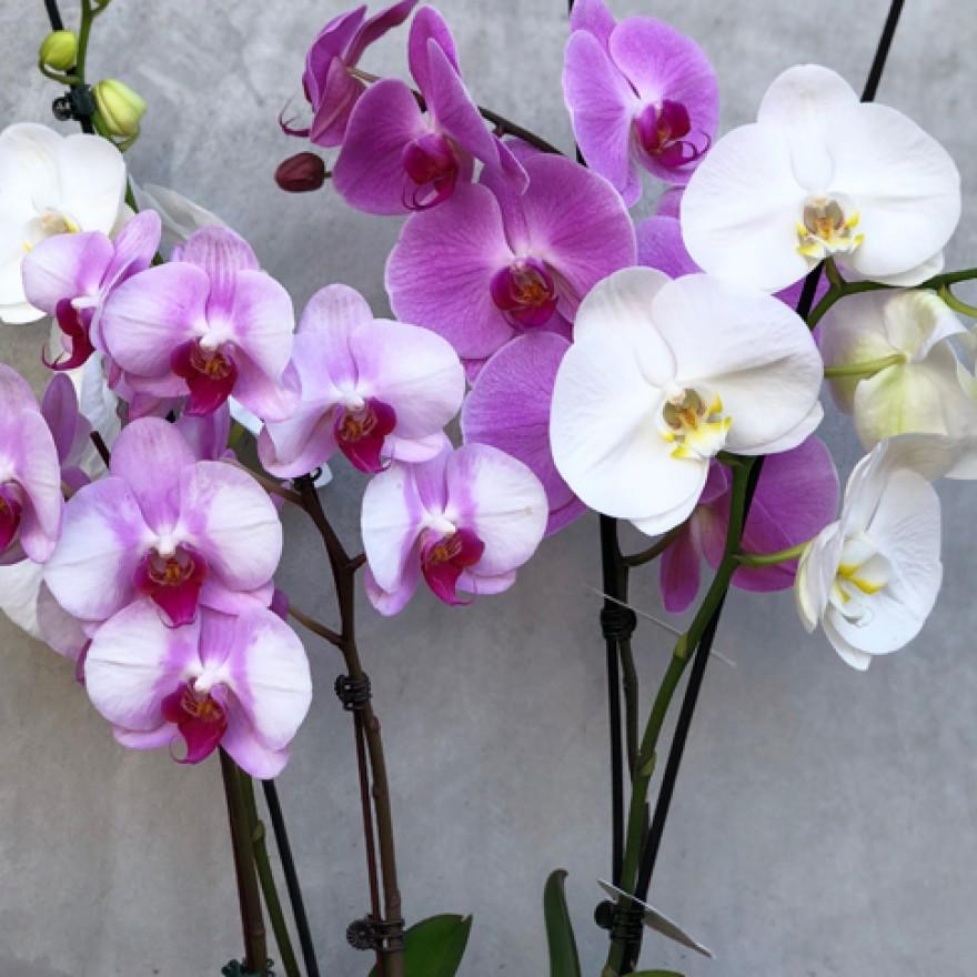 Entretien de l'Orchidée