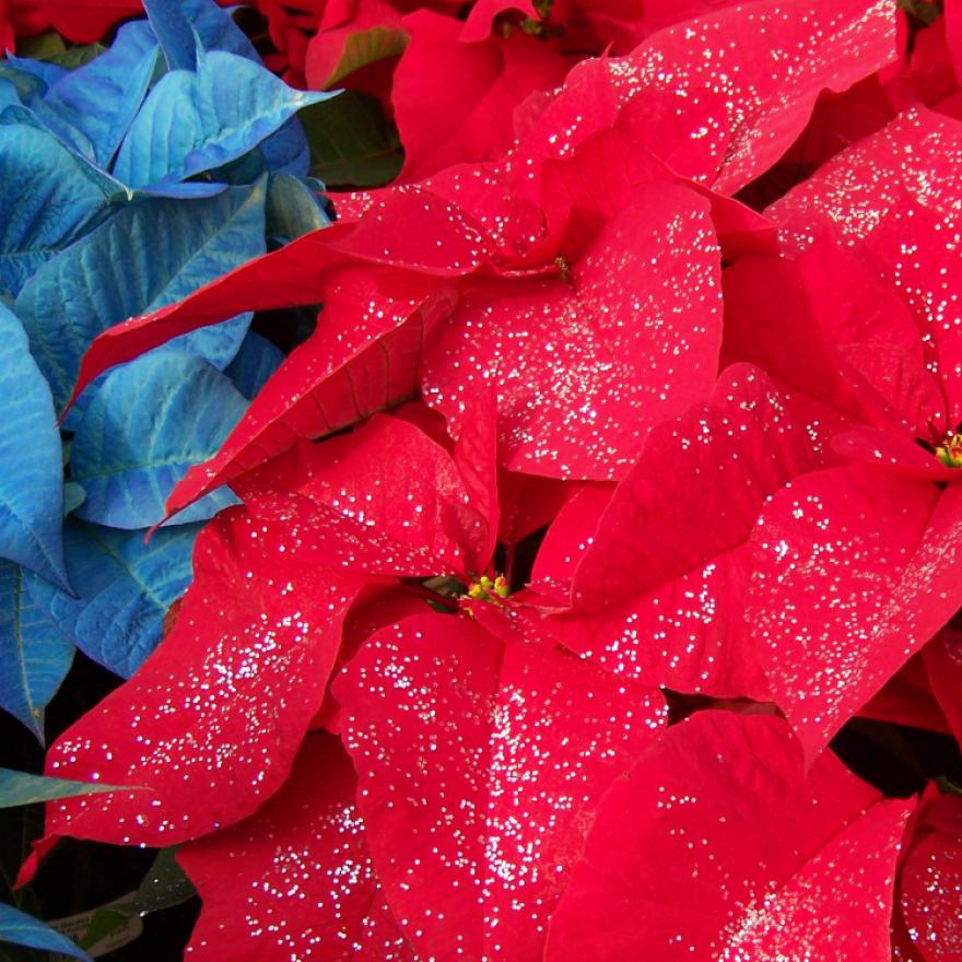 Poinsettias - Coutumes et traditions de Noël